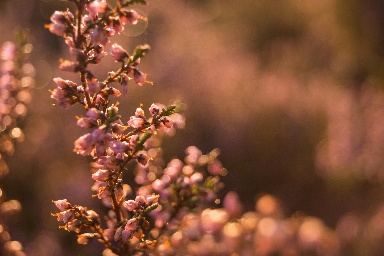Bloeiende Heide